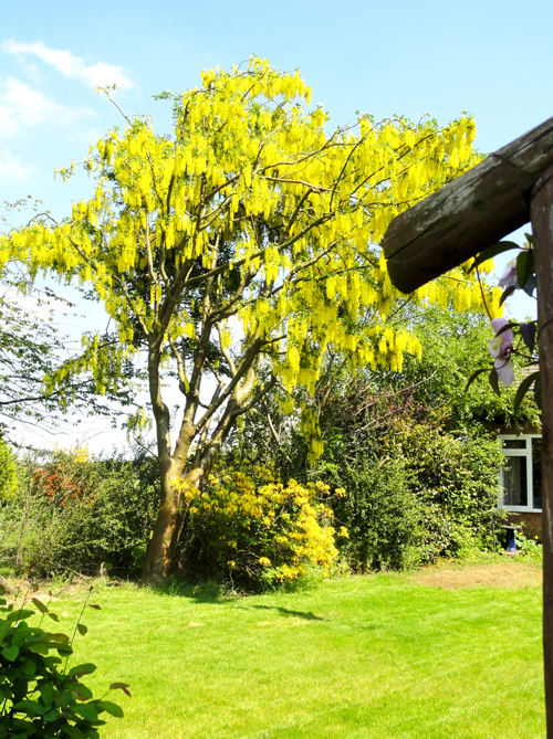 Laburnum in the distance